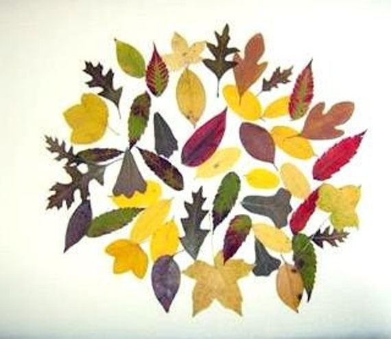 """25 Small real leaves pressed-Woodland Wedding-Dried Leaf - Botanical-Floral-25 Real Dried Leaves- Hand Picked and Pressed Leaves 1""""2"""""""