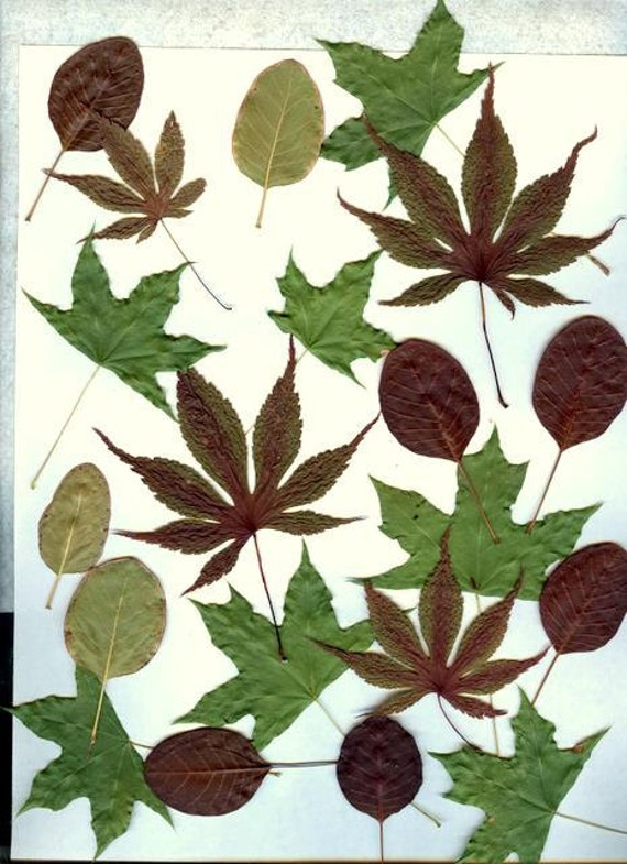 50 real dried leaves-Purple Green Maple Leaves and more-Woodland Forest Leaves- Pressed Leaves-Woodland Wedding-Dried Fall Leaves
