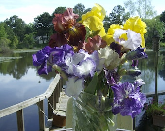 5) BEARDED IRIS PLANTS
