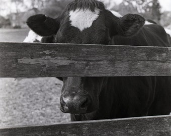 Hiding Cow 8x12 Black&White Unmounted Print