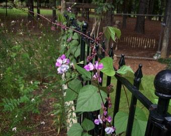 Hyacinth Bean Vine Seeds from my yard