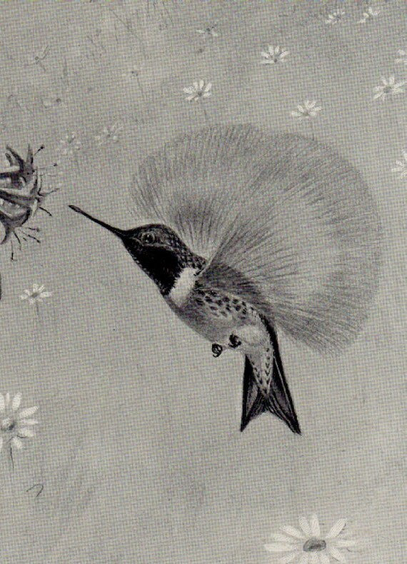 Ruby Throated Hummingbird Art Print Black and White Art  Ernest Seton Thompson To Frame