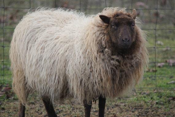 "Shetland Batt ""Ruth"" 1.5 ounces"