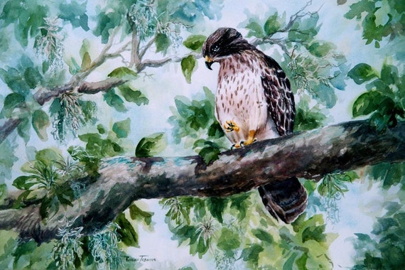 Hawk, Baby hawk, Watercolor, Print, 8 x 10, Decorative art, bird, falcon, bird of prey, Florida home decor