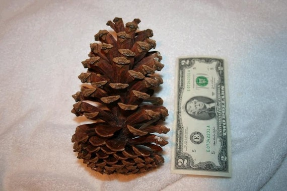 extra large pine cone for crafts