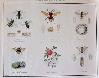 VINTAGE 1930's School Poster BEES and WASPS Bumble Honey