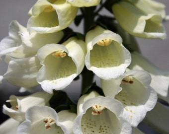 Fine art photograph of a 8 X 10 giclee print white foxglove