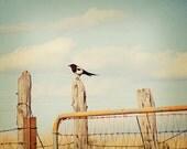 bird print,country cottage decor,bird artwork,magpie on the prairie,aviary print,nature photo,fine art photography,earth tones