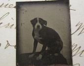 miniature antique GEM tintype - small black and white dog, rare pet portrait - puppy, late 1800s, antique photo - GTA21