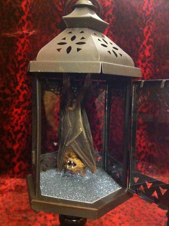 Taxidermy Bat in Lantern Curio
