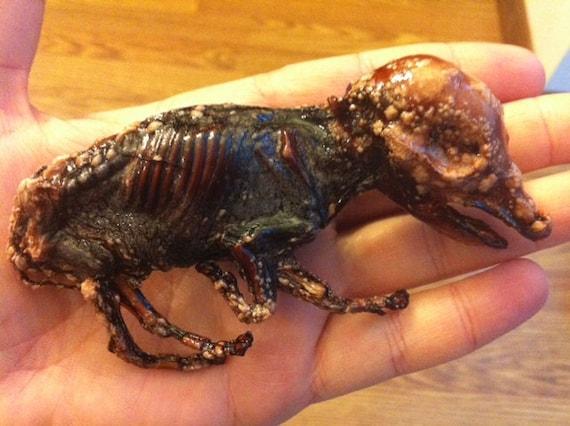Mummified Fetal Pig named Crazy Legs McGee, Mummy Pig, Preserved Specimen