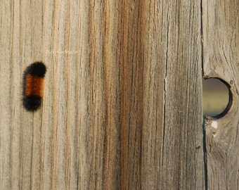 """Nature Photography, Wooly Bear climbing an old barn with peek hole, Fall is coming, """"Eye Spy"""",Fine Art Print"""