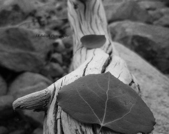 """Nature/Landscape photography, Aspen leaves resting on driftwood, """"Driftwood Pathway"""", Black and White Print, Fine Art Photography"""