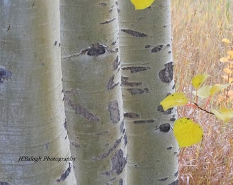 """Nature Photography, Aspen trees in a row with yellow leaves, Bark, grey, white, yellow, """"Three Amigos"""", 8x12"""" Fine Art Print"""