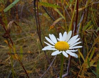 "Flower Photography, Nature Photography,White yellow daisy against autumn colors, burgandy, wine, burnt orange, ""1Daisy"", Fine Art Print"