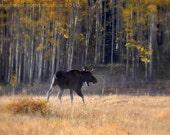 Young Bull Moose Fine Art Photo