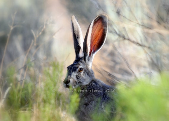 Jack Rabbit Photo, Desert, Woodland, 5 x 7 photo, Nature Photo