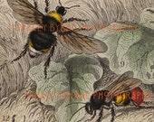 Bees - 1853 Antique Copper Plate Engraving - Vintage