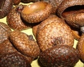 50 natural acorn caps doll hats craft flat eco friendly 1/2 to  1 inch in size