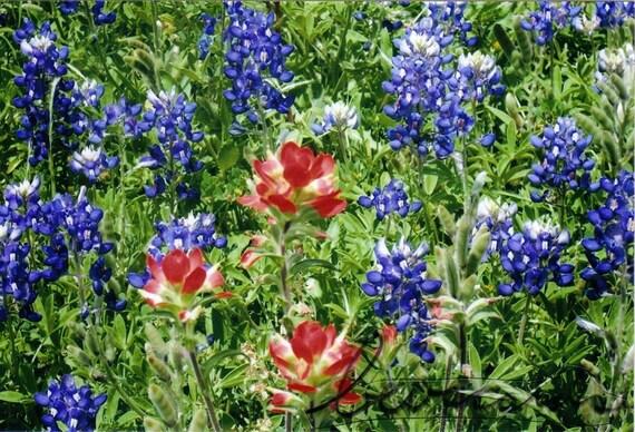 """Texas Bluebonnets Fine Art Photography Print 4x6"""""""