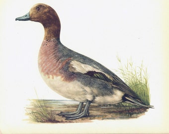 Wigeon Duck Print Book Plate SALE Buy 3, get 1 Free