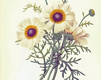 Redoute Chrysanthemum Print Book Plate SALE Buy 3, get 1 FREE
