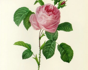 SALE Vintage Botanical Book Print by Redoute of Rose