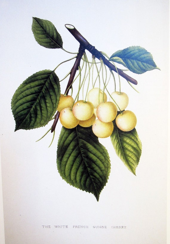 Vintage Botanical Book Print by Prestele of Cherries