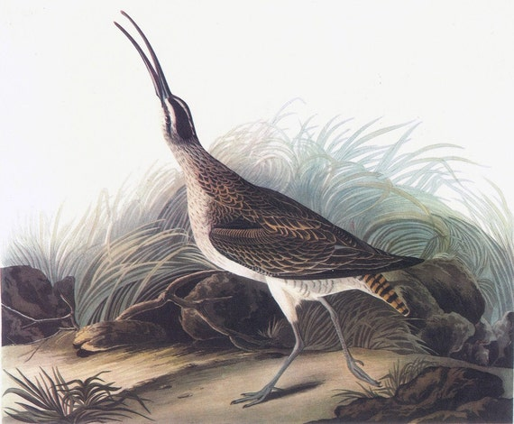 CLEARANCE Audubon Book Plate Print of Curlew from Birds of America