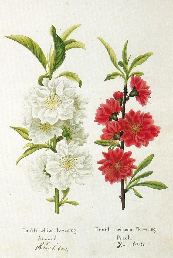 SALE Vintage Botanical Actual Book Print by Prestele of Almond