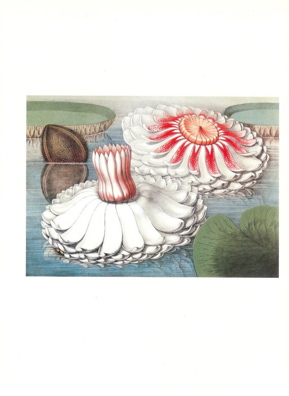 CLEARANCE Vintage Book Plate Of Water Lily