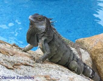 Iguana - Aruba, Photo