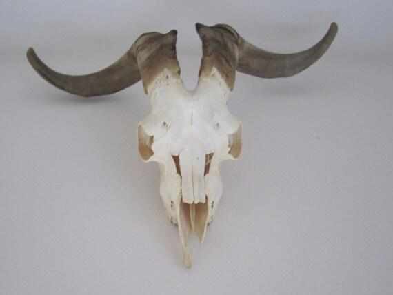 Beautifula vintage Angora goat skull amazing decor
