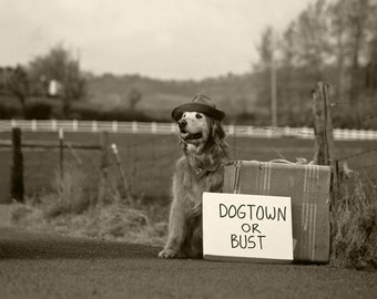 Dog photography, Golden Retriever, Travel, Suitcase, Fedora, Dogtown, Road Trip, Bandana, Ride
