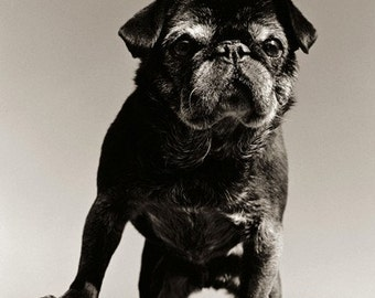 Dog photography, Pug, Old Dog, Senior Dog, Beach, Rocks, Duotone, Lookout