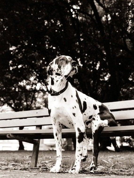 Dog on Park Bench - 8 x 10 Print
