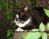 Afternoon Cat Nap, Tux Resting on a Log, Original Cat Photography by Richard Bruness