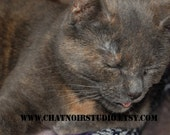 Purrfection Cat Peaceful Blissful Shadow Rose Feline Photography 8 by 10 by Christine Bruness at Chat Noir Studio