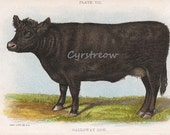vintage animal chromolithogrpah GALLOWAY COW - farm print from the 1890s