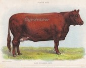 vintage animal chromolithogrpah RED POLLED COW - farm print from the 1890s