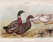 vintage poultry chromolithograph - DUCKS - farm art print from the early 1900s