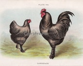 vintage chicken chromolithograph - BLACK LANGSHANS - farm art print from the early 1900s