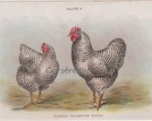 vintage chicken chromolithograph - BARRED PLYMOUTH ROCK - farm art print from the early 1900s