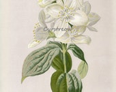 vintage floral print - SYRINGA WHITE LILAC - Victorian flower art from the 1890s