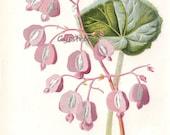 vintage botanical print PINK BEGONIA flower art from the 1890s