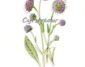 vintage botanical print PURPLE SCABIOUS flower art from the 1890s