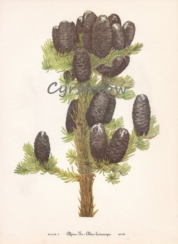 vintage flower lithograph - ALPINE FIR TREE - old botanical art print from the 1950s