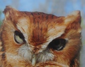 Screech Owl Looking at You Photo Greeting Card