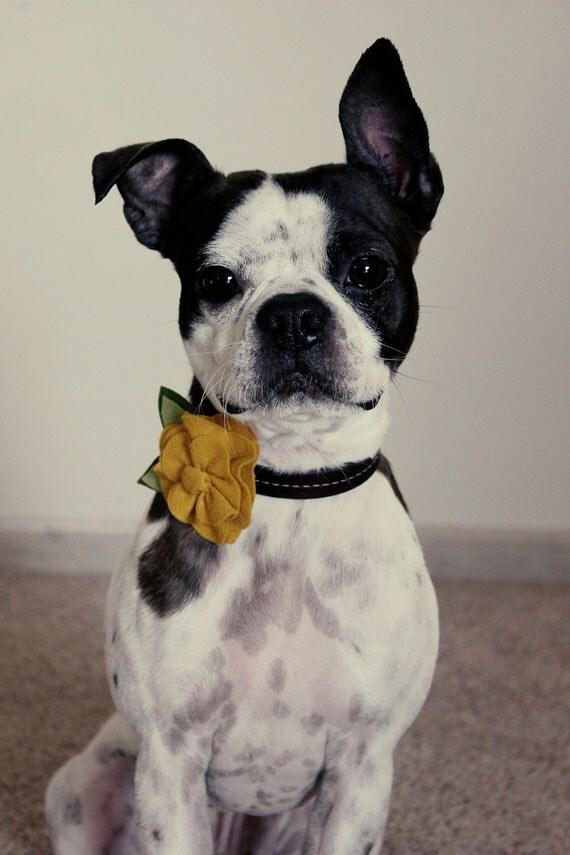 Golden Yellow Wool Felt  Flower Dog Collar Accessories