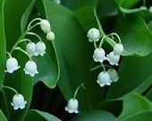 25 Lily of the Valley Fragrant Shade Plants Pips
